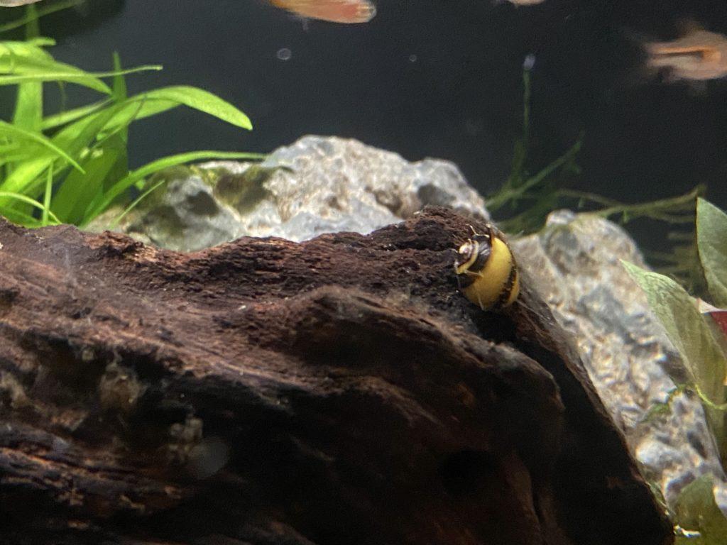 Horn Nerite Snail