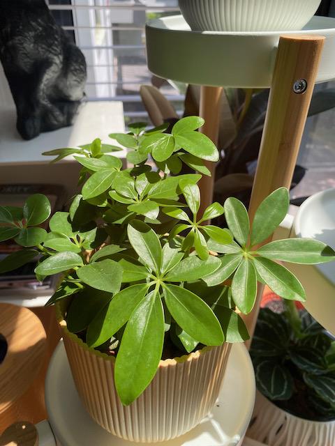 Schefflera arboricola 'Nora', Dwarf Umbrella - Potta Plantta